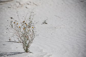 A plant able to survive at White Sands National Monument in Alamogordo, New Mexico