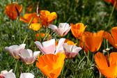 California poppies basking in the sun.