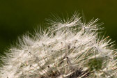Macro of a dandelion with the seeds about to be launched into the air.