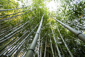 Bamboo reaching for the sky in a bamboo forest.