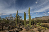 Saguaro cacti at the Saguaro National Park in Arizona.