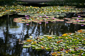 Lily pads in the sun